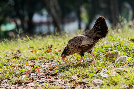 Hen with baby chickens chicks standinghidding together on a farm Stockfoto