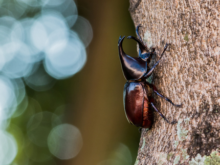 Rhinoceros beetle Hercules beetle or Fighting beetle on old wooden texture with green nature background Stockfoto