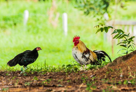 Male and female chickens are under the shade.