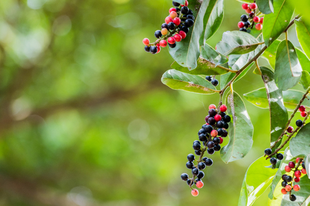 Thai blueberry on tree. The results of the red and black colors