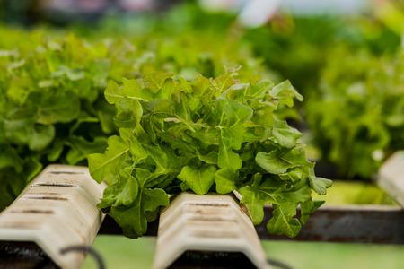 Hydroponics method of growing plants vegetables salad farm