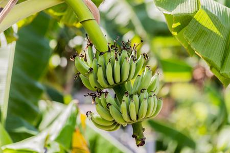 Banana tree with bunch of raw green bananas and banana green leaves.