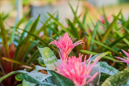 Beautiful of bromeliad in bromeliad garden.