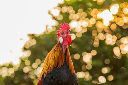 Rooster chicken cockcrow in the morning. Stockfoto
