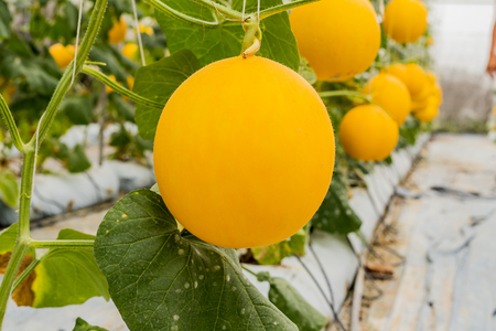 Yellow cantaloupe melons plants growing in garden