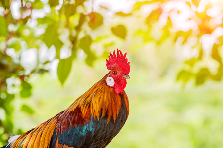 Rooster portrait. Beautiful multi colored rooster photographed close up