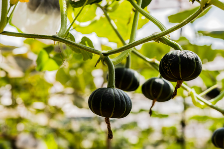 Japanese pumpkins growing in organic vegetable farm