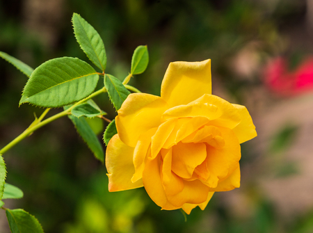 Beautiful big yellow rose onnature background