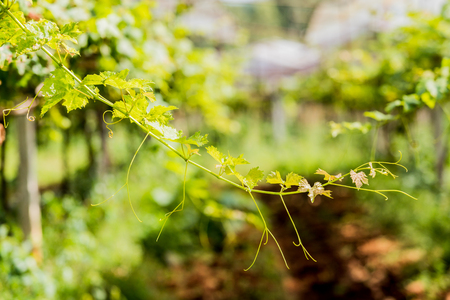 Branch of grape vine on nature in garden. Stockfoto