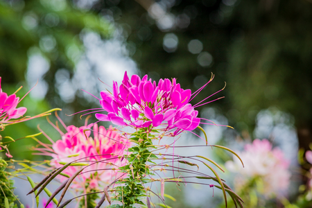 Pink Spider flower has a beautiful pattern. Stockfoto