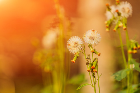 Grass flower in the morning at sunrise with golden sunshine. Stockfoto