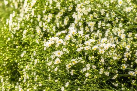 greater stitchwork (Stellaria holostea) flowers in a woodland in spring.