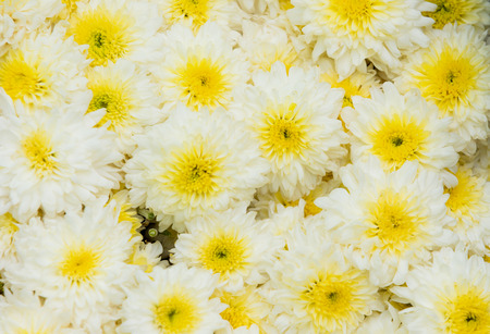 Chamomile flowers field wide background in sun light. Summer Daisies.
