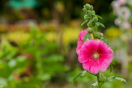 Hollyhocks flower of pink  color in the garden