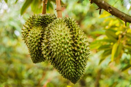 Fresh durian tropical fruit growing on durian tree plant in garden