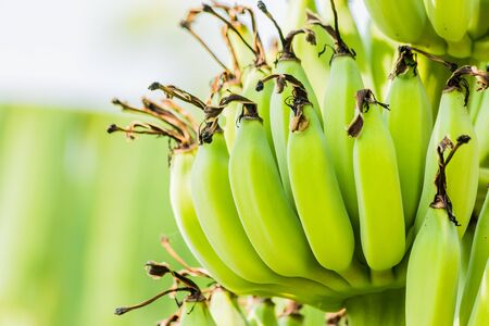 Banana tree with bunch of raw green bananas Stockfoto