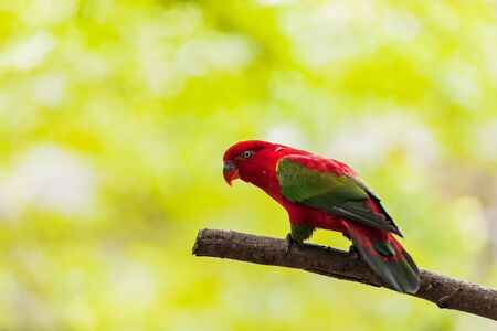 Beautiful colorful Pair Lovebirds parrots on branch. Colorful Love parrot couple