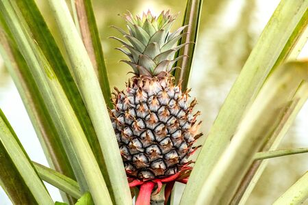 beautiful fruit young pineapple on farm tropical fruit growing Stockfoto