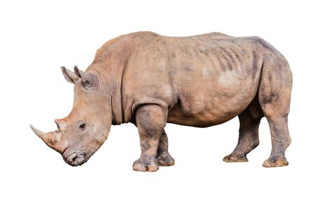 Big rhino in the zoo  isolate white background with clippingpath. Stockfoto