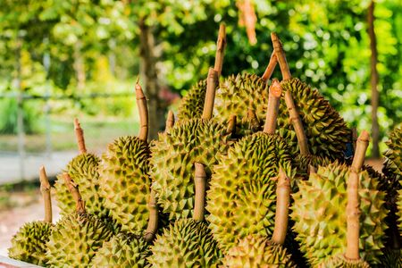 Fresh durian fruit from the durian garden for sale in the local market thailand tropical fruit Stockfoto