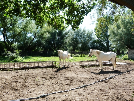 Horses in Camargue, France photo