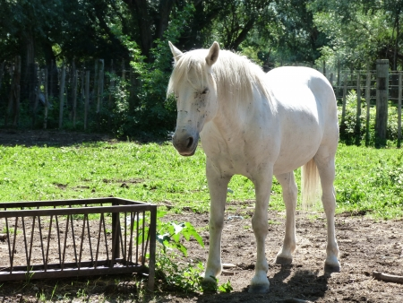 Horse in Camargue, France photo