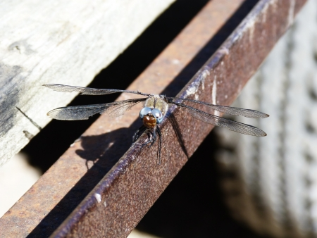 camargue: Dragonfly in Camargue, France Stock Photo