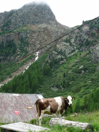 Cow grazing in Trentino, Italy photo