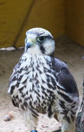 lanner: Lanner falcon