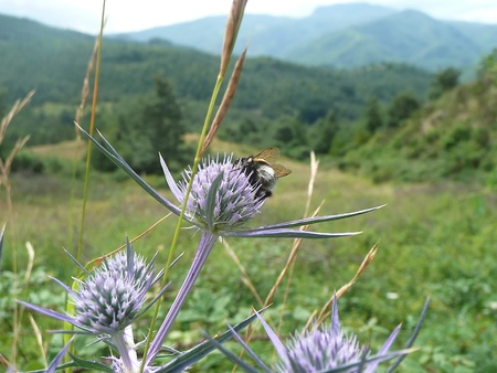 apennines: Thistles and bee in the Tuscan-Emilian Apennines