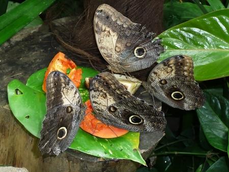 eyespot: Owl butterfles with melon
