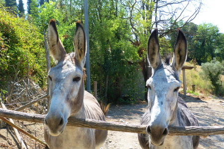ears donkey: Pair of donkeys in the Tuscan countryside