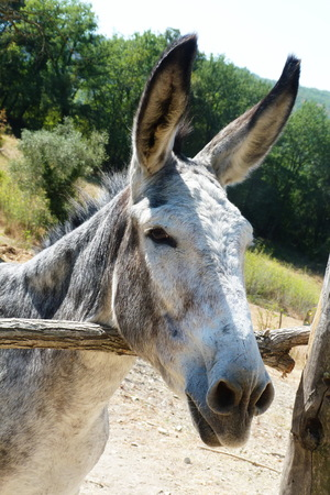 ears donkey: Ass in the Tuscan countryside