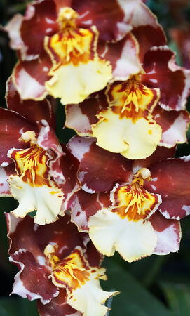 Pansy Orchid - Miltoniopsis photo