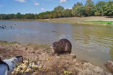 muscovy duck: Otters and muscovy duck in Serravalle Park, Empoli, Tuscany, Italy Stock Photo
