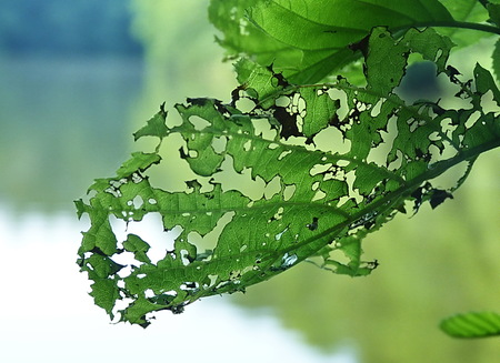 lakefronts: Leaf eaten by caterpillars at Konopiste Lake, Czech Republic