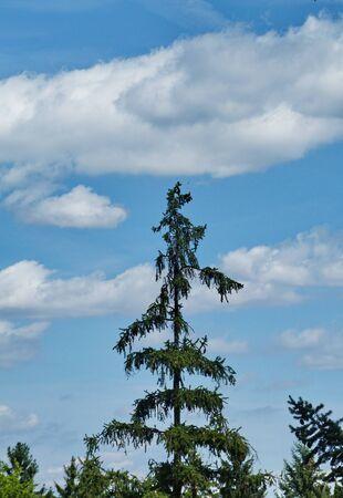 firtree: Fir-tree in the park Pruhonice, Czech Republic