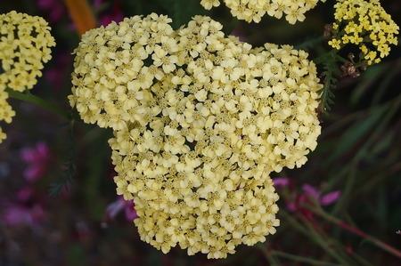 Yellow Achillea flowers Stock Photo