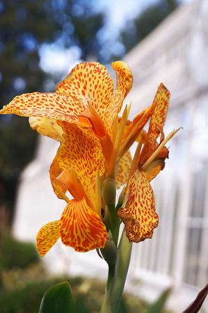 gladiolus: Orange Gladiolus flower
