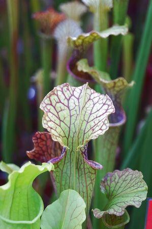 digesting: Purple sarracenia flower, carnivorous plant