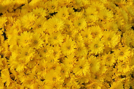Yellow chrysanthemums flowers Stock Photo