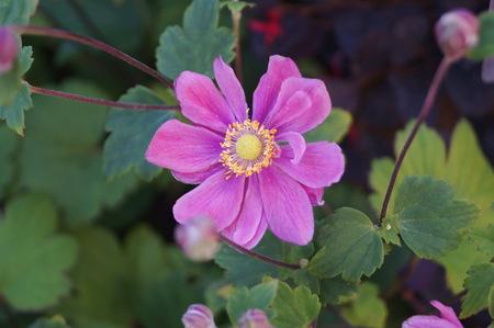 Pink Japanese anemone flowers