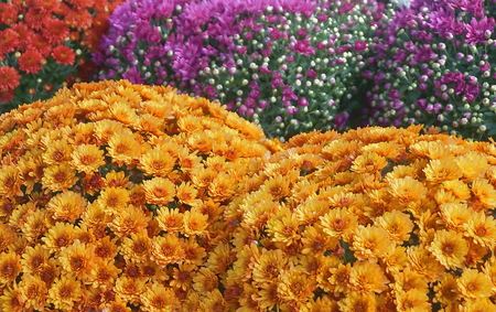 Colorful chrysanthemums flowers