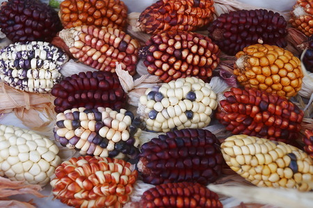 dryed: Different types of maize cobs