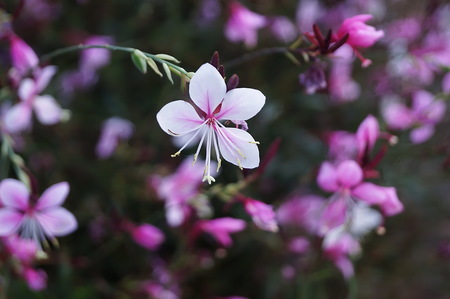 whirling: Gaura lindheimeri or Whirling butterflies flowers