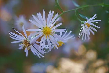 heavenly: Aster heavenly flowers