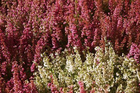 Erica gracilis flowers