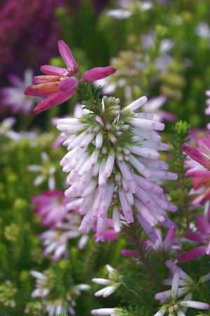 odorous: Erica verticillata flowers
