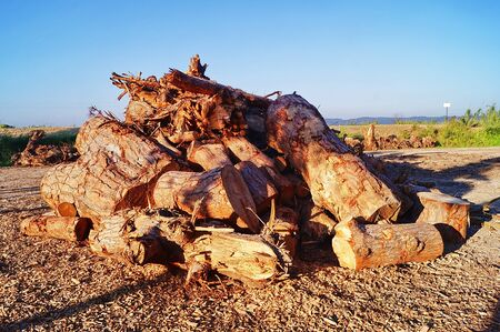 felled: Stack of logs in Marina di Castagneto Carducci, Tuscany, Italy
