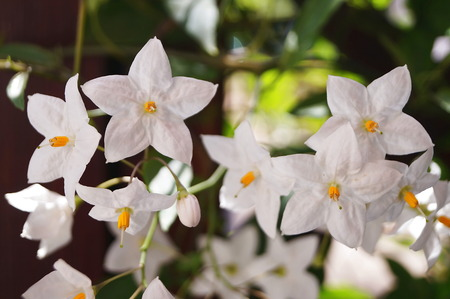 five pointed: Five- pointed white jasmine Stock Photo